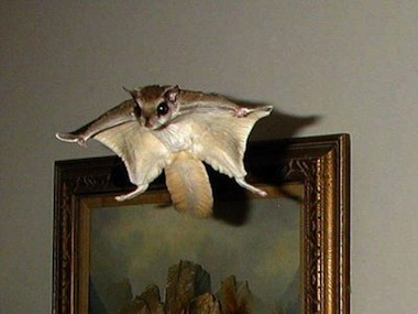 Flying-squirrels