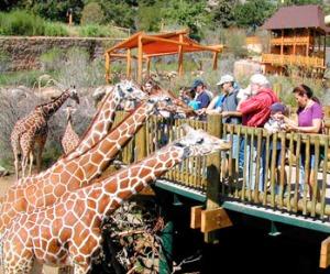 zoo-giraffes