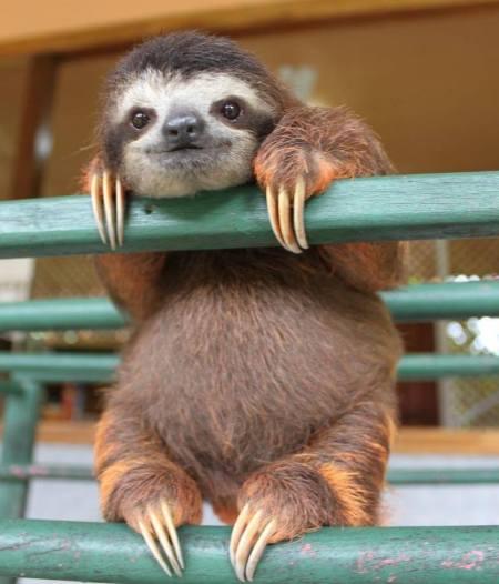 cute baby sloth